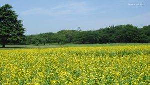 昭和記念公園 春