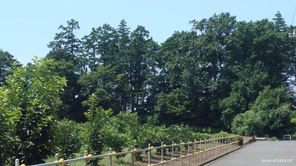 高台の樹林 キヨシロー生家付近